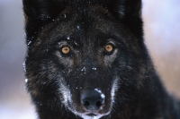 Collection\Msft\Mammals\Wolf: Black-wolf-en-face