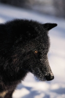 Collection\Msft\Mammals\Wolf: Black-wolf-en-profile