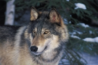 Collection\Msft\Mammals\Wolf: Gray-Wolf-(Canis-lupus)-en-face