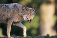 Collection\Msft\Mammals\Wolf: Gray-Wolf-(Canis-lupus)-prowling