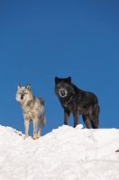 Collection\Msft\Mammals\Wolf: Gray-and-black-wolf
