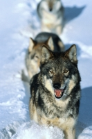 Collection\Msft\Mammals\Wolf: Pack-of-Gray-Wolves-in-Snow