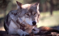 Collection\Msft\Mammals\Wolf: Wolf-Resting-(Canis-lupus)