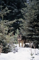 Collection\Msft\Mammals\Wolf: Wolf-between-pine-trees