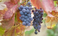 Collection\Msft\Plants\Agriculture: Sauvignon-Grapes