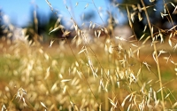 Collection\Msft\Plants\Agriculture: Wheat-Close-Up