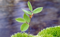 Collection\Msft\Plants: Beech-Tree-Sapling