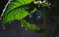 Collection\Msft\Plants: Dew-on-Tomato-Plant