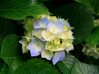 Collection\Msft\Plants\Garden: Hydrangeas