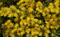 Collection\Msft\Plants\Garden: Yellow-Flowers-of-Sedum