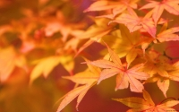 Collection\Msft\Plants: Maple-Leaves-