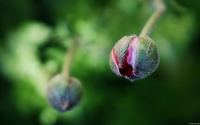 Collection\Msft\Plants: Pink-Poppy-Bud