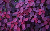 Collection\Msft\Plants: Purple-Leaves