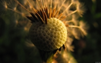 Collection\Msft\Plants: Seeding-Dandelion