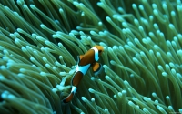 Collection\Msft\Sea: Clown-Fish