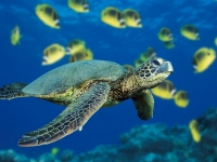 Collection\Msft\Sea: Green-Sea-Turtle