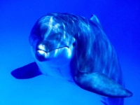 Collection\Nature Portraits: Dolphin-(Delphinus-Delphis)-in-blue-water-1