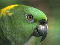 Collection\Nature Portraits: Green-parrot