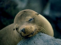 Collection\Nature Portraits: One-female-Seal