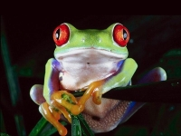 Collection\Nature Portraits: Tree-frog