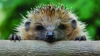 Funny: Hedgehog-wallpaper