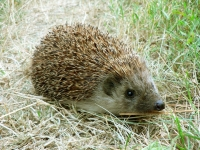 Mammal: Hedgehog-(Erinaceus)-on-grass