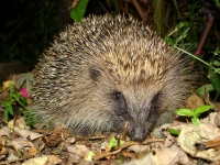 Mammal: Hedgehog-in-backyard-(Erinaceus)