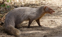Mammal: Indian-Grey-Mongoose-(Herpestes-javanicus)