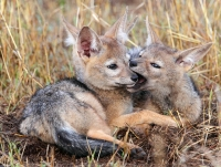 Mammal: Jackal-pups-playing
