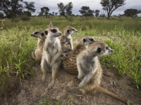 Mammal: Meerkats-on-guard-(Suricata-suricatta)