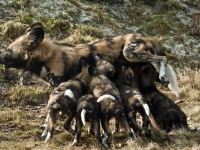 Mammal\Painted Dog: African-painted-dog-mother-suckles-her-5-puppies-(Lycaon-pictus)