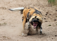 Mammal\Painted Dog: Angry-african-painted-dog-(Lycaon-pictus)