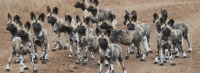 Mammal\Painted Dog: Pack-of-african-painted-dog-youngsters-960x350-(Lycaon-pictus)
