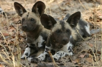 Mammal\Painted Dog: Two-african-wild-dogs-(Lycaon-pictus)