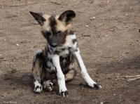 Mammal\Painted Dog: Young-african-wild-dog-(lycaon-pictus)