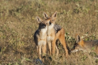 Mammal: Three-Jackals