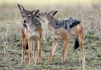 Mammal: Two-Black-backed-Jackals-(Canis-mesomelas)