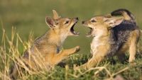 Mammal: Two-Jackal-pups-play-fighting