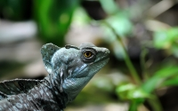 Reptile: Lizard-in-rainforest