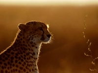 WildLife: Cheetah-(Acinonyx-jubatus)