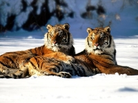 WildLife: Two-Tigers-in-snow-(Panthera-tigris)