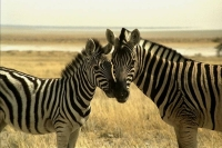 WildLife: Two-Zebras-nosing-(Equus-quagga)